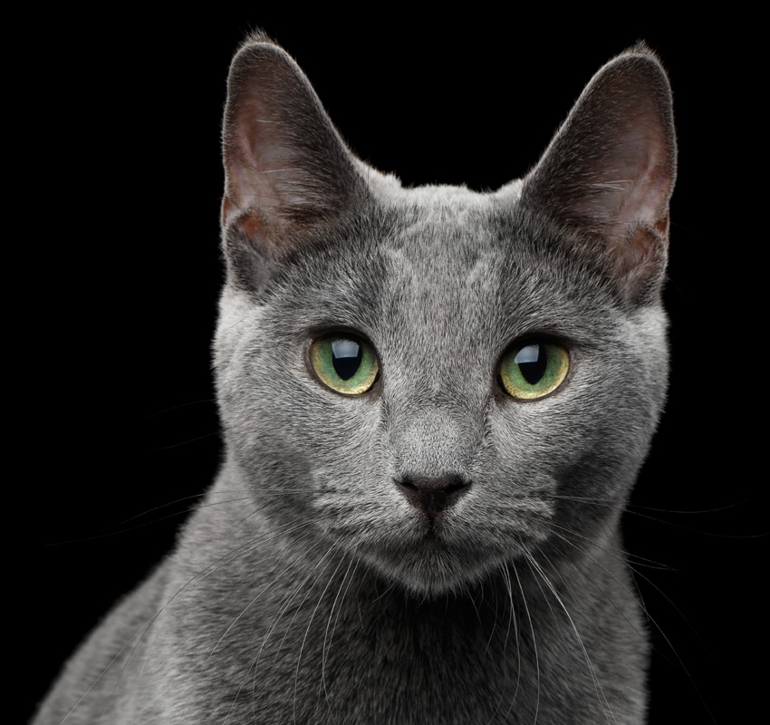 Close-up portrait of Russian blue cat with amazing green eyes and gray silver fur looking in camera on isolated black background - Image
