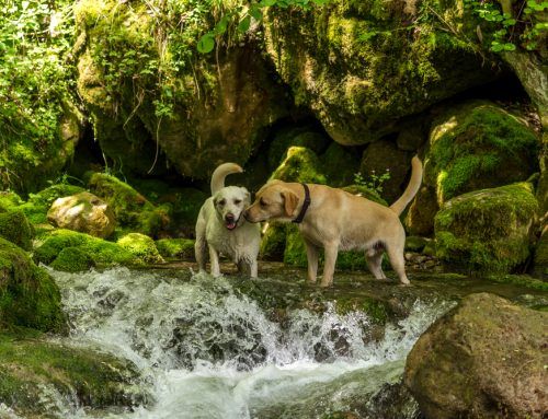 What All Pet Owners Should Know About Leptospirosis